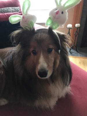 Sheltie bunny