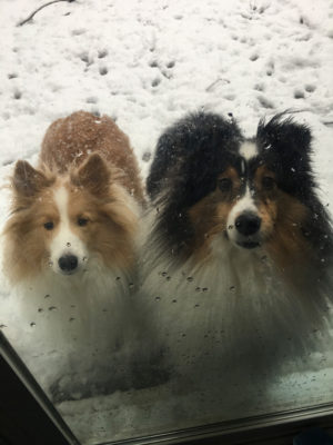 Shelties want in the house