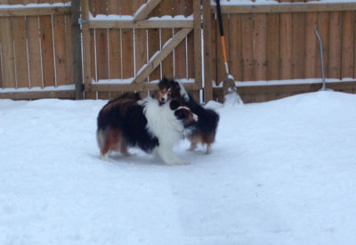 Shelties in snow