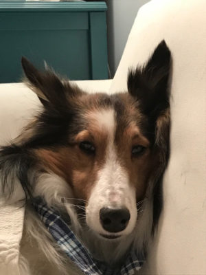sleepy sheltie