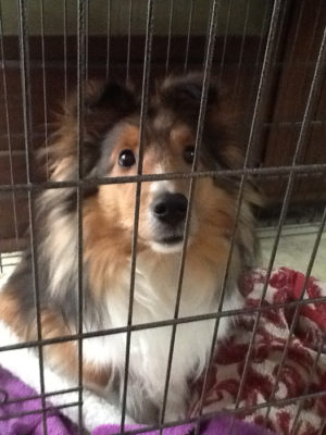 Sheltie in prison