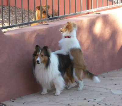 Sheltie getting a lift