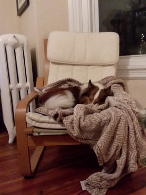 Sheltie napping in chair
