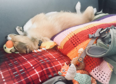 Sheltie puppy sleeping