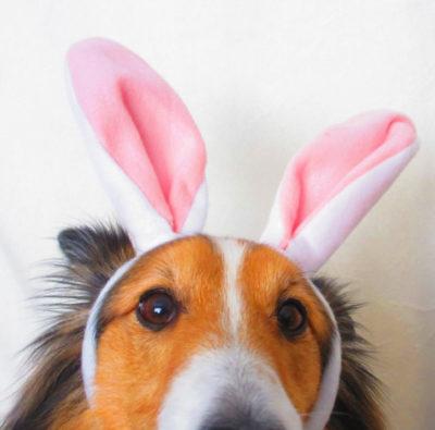 Sheltie in bunny ears