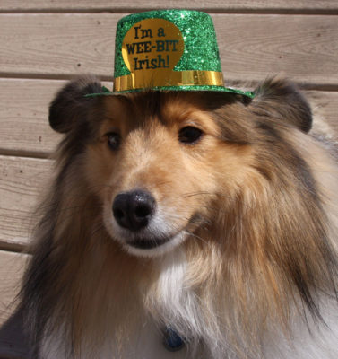 Sheltie in st. patrick hat