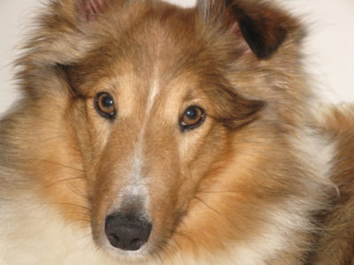 Sheltie eyes