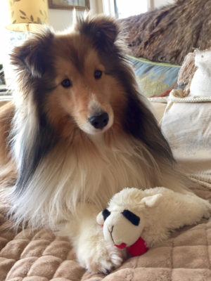 Sheltie and toy