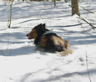Sheltie eating snow