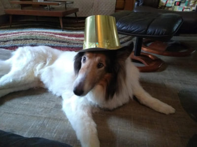 Sheltie wearing birthday hat