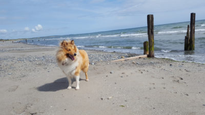 Sheltie in Ireland