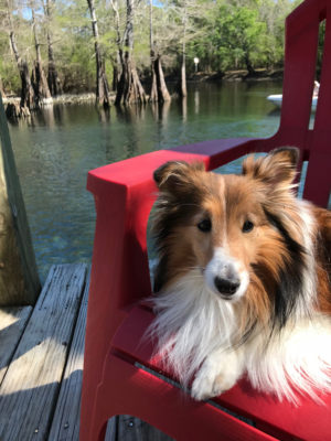 Sheltie on dock