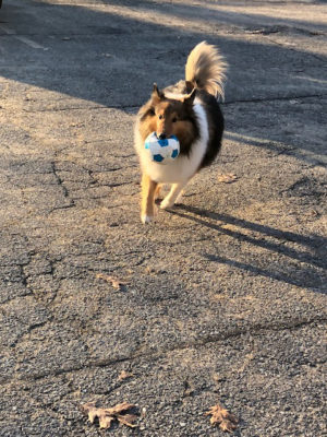 Sheltie with ball