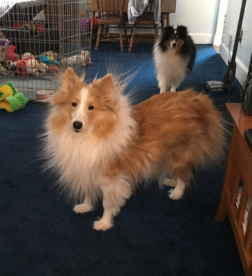 static sheltie