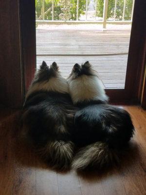 Shelties looking out door
