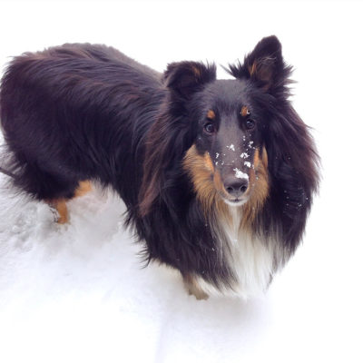Sheltie with snow on nose