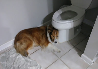 sheltie in bathroom