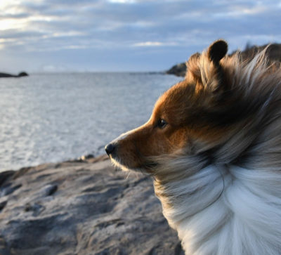 Sheltie in Norway