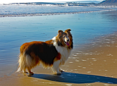 Sheltie on California beach