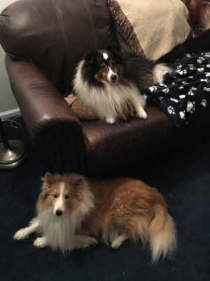sheltie on couch