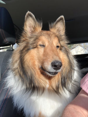 Sheltie in sun