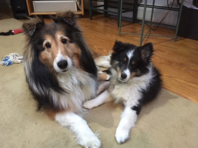 Sheltie friends