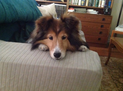 Sheltie eyes waiting