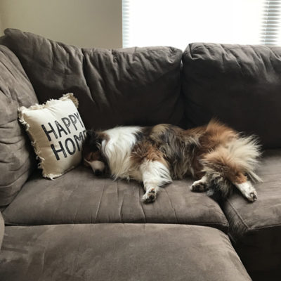 Sheltie sleeping on couch
