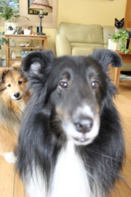 Sheltie photobombing