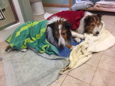 Sheltie bath time