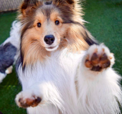 Sheltie paw up