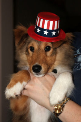 sheltie puppy with hat