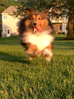 Sheltie bouncing