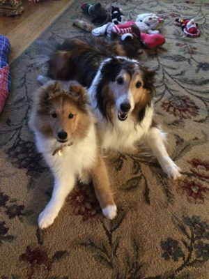 sheltie puppy and friend