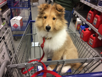 Sheltie in Lowes