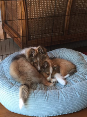Sheltie puppies cuddling