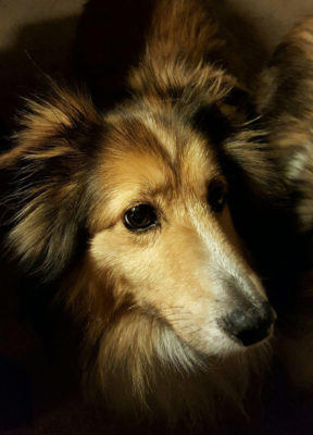 sheltie closeup
