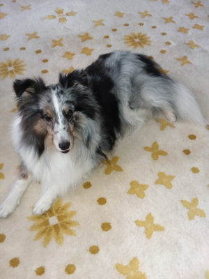 Sheltie on pretty rug