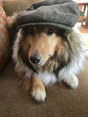 sheltie in hat