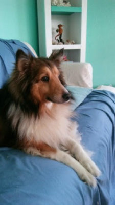 rescue Sheltie