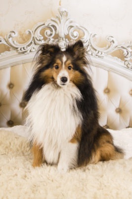 Sheltie glamour shot