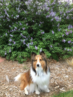Sheltie and lilac
