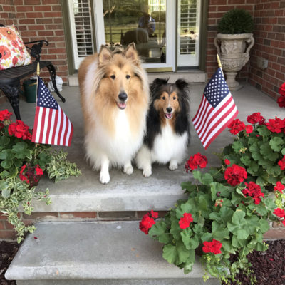 Shelties on patio