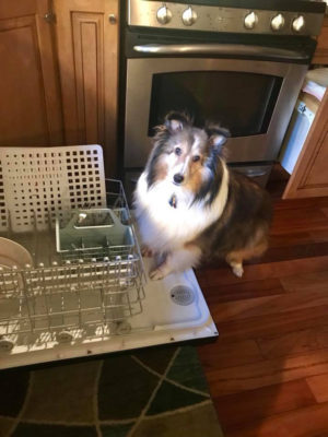 Sheltie on dishwasher