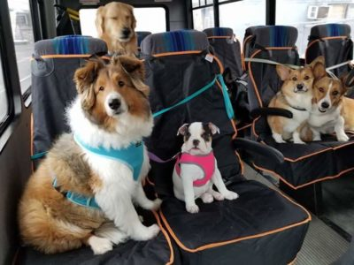 Sheltie on bus