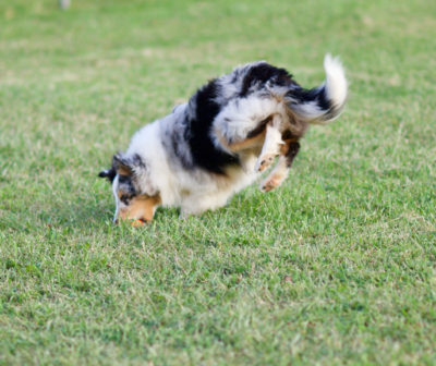 Sheltie leap
