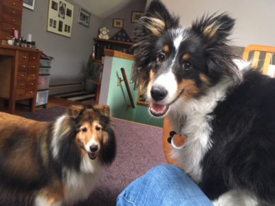 Shelties asking to go out