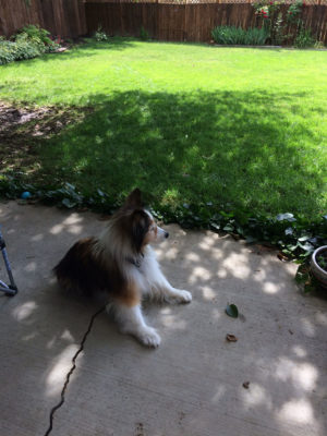 17 year old Sheltie