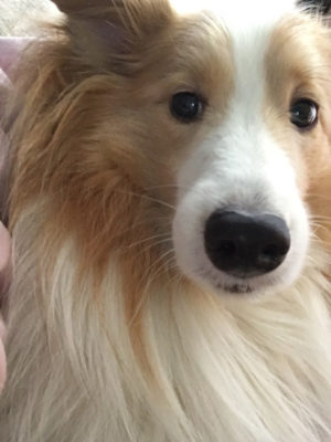 sheltie side-eye