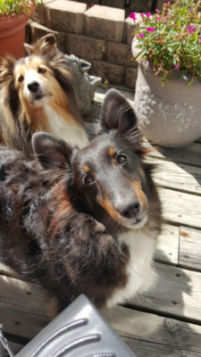 Shelties on deck